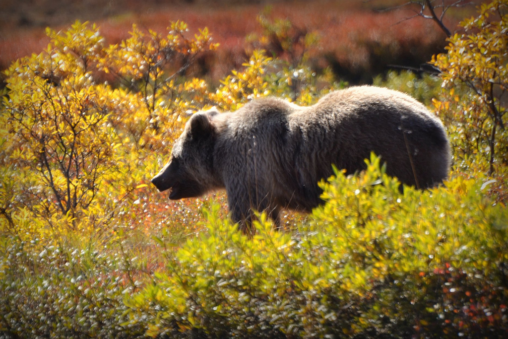 grizzly-bear-denali-park-alaska-by-barbara-miers