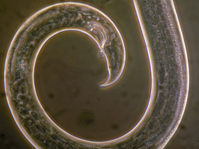 pinewood nematode, photo by L.D. Dwinell, USDA Forest Service
