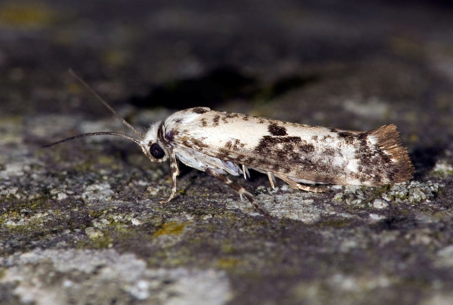 Prays fraxinella, an invasive moth from Eurasia, found in Vancouver's Stanley Park, thanks to DNA barcoding.