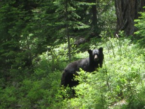 Black bear. Photo by USDA Forest Service