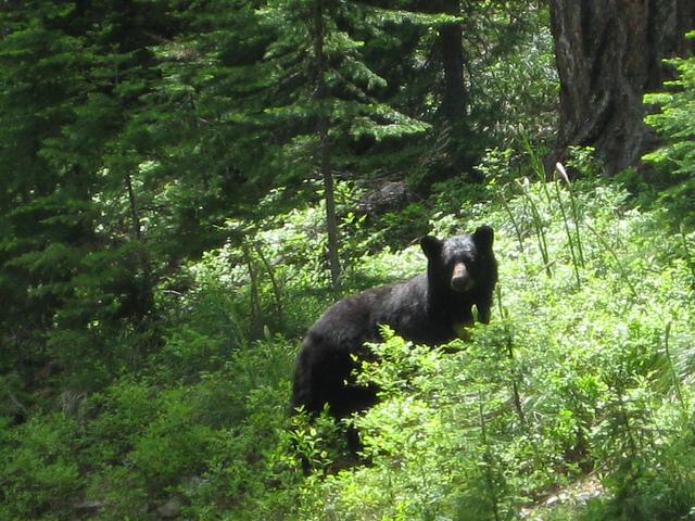 Black bear. Photo by USDA Forest Service