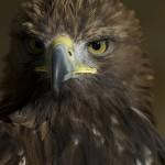 Golden eagle. Photo by Dazzie D., http://www.flickr.com/photos/dazzied/2257623502/