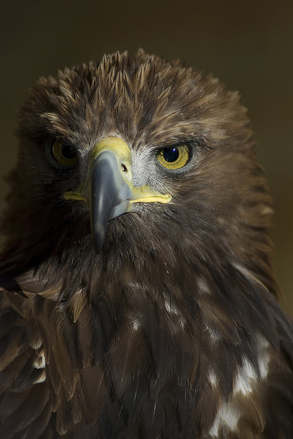 Golden eagle. Photo by Dazzie D., http://www.flickr.com/photos/dazzied/2257623502/