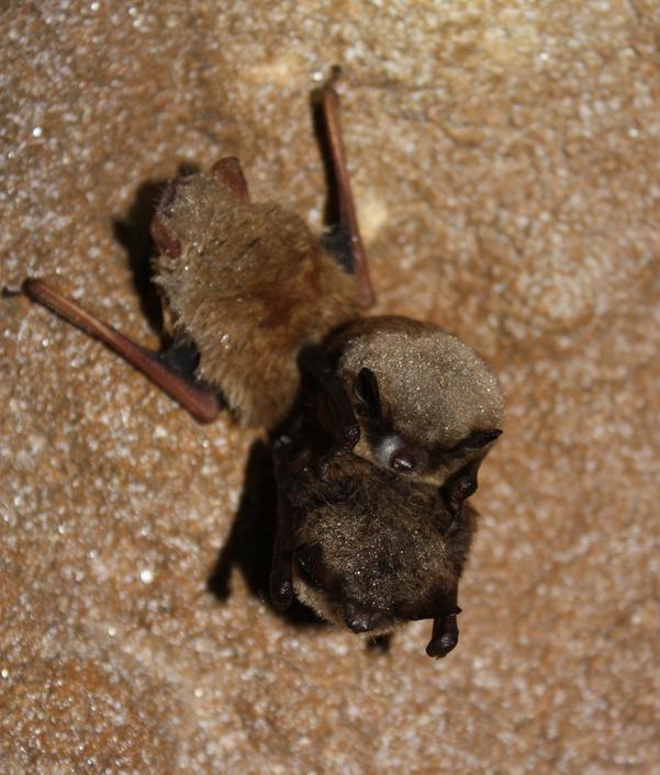 little brown bat. Photo by MDC/Shelly Colatskie, http://www.flickr.com/photos/usfwshq/7029643519/