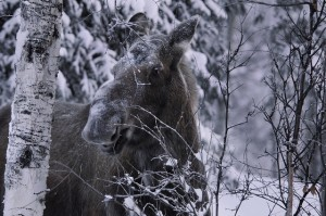 Moose in winter. Photo by National Parks Service Tim Rains