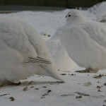 Ptarmigan in winter colouring. Photo by Shannon-sfbnurse, http://www.flickr.com/photos/sfbnurse/442887753/