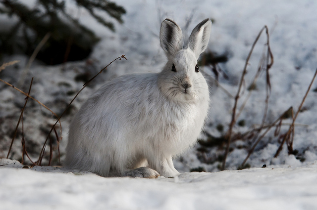 Snowshoe hare. Photo by National Parks Service, Tim Rains