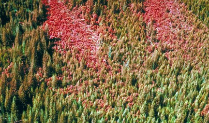 Conifer forest damaged by western spruce budworm. Photo by USDA, David McComb.
