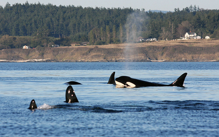 orca off southern Vancouver Island, by Thomas Forster