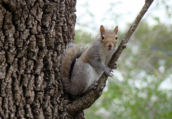 Eastern grey squirrel, photo by TexasDarkHorse, flickr