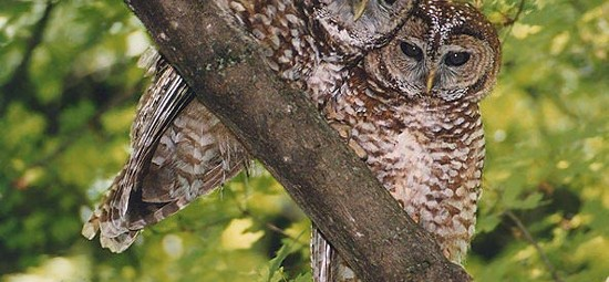 Spotted Owl, photo by USFWS Pacific