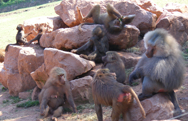 Baboons. Photo by Marie Hale.