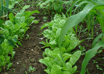 Spring greens grow. Photo by James Mann, www.backyardgardeningtips.com