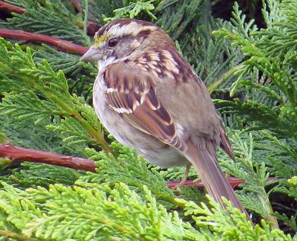White-throated sparrow. Photo by leppyone
