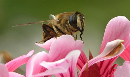 Bee on geranium. Photo by Martina Rathgens, www.glo-con.com