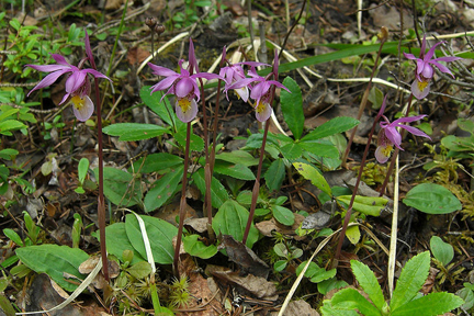 Calypso orchids, by Jason Hollinger