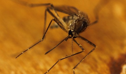 Mosquito. Photo by Eli Christman (Gamma Man), Creative Commons