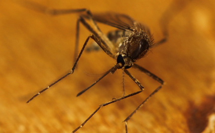 Mosquito. Photo by Eli Christman (Gamma Man), Creative Commons