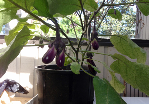 eggplantstwins