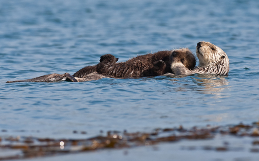 Sea Otter Moms with Pup, Morro Bay CA 13 Dec 2010. Photo © Mike Baird, www.bairdphotos.com