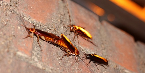 Cockroach brains may provide the next super-antibiotic. Photo © Sigurd Tao Lyngse (Malakith, flickr)