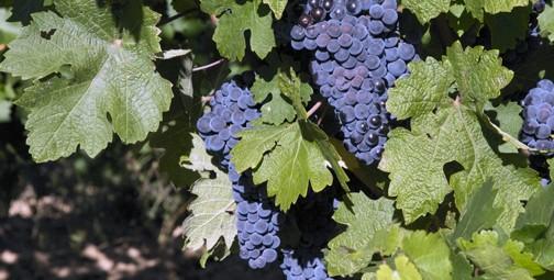 Grape clusters. Photo © Scott Mair
