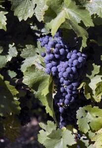 Grapes. Photo © Scott Mair