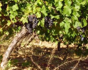 Grapevine. Photo © Monique Keiran 2010.