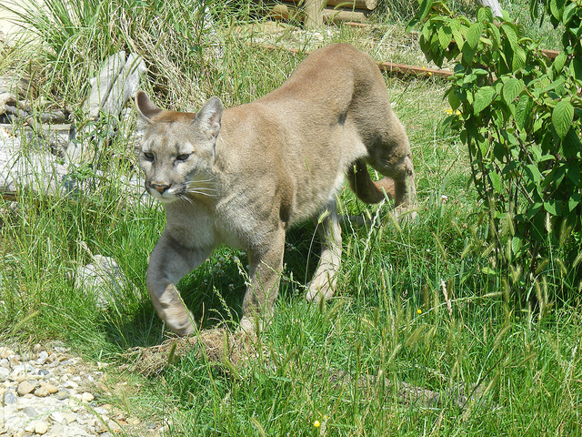 Cougar as stressor. Photo © Marie Hale, creative commons