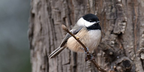 Sure, he's cute, but Vancouver's Bird of the Year? The Black-capped Chickadee. Photo © Russ, via creative commons & flickr