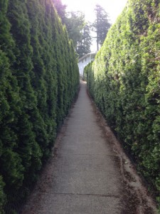 Pathway lined by tall cedar privacy hedges