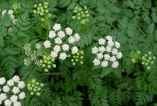 Poison Hemlock flowers. Photo © Paige Filler, via creative commons & flickr