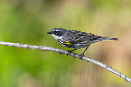 Myrtle warbler. Photo © zenbenscience, via creative commons & flickr