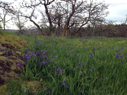 Blue camas, buttercups and spring gold bloom in a south Vancouver Island Garry oak meadow. Photo © Monique Keiran