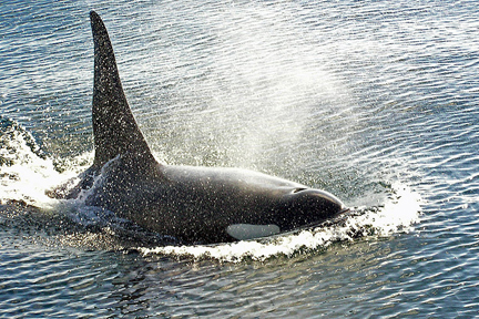 Orca breaching and blowing. Photo © digicla via Creative Commons and flickr