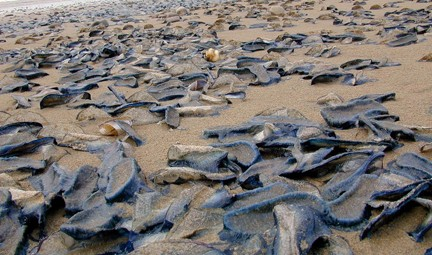 Stranded velella, relatives of sea jellies. Photo © Dan (Newslighter), via flickr and Creative Commons