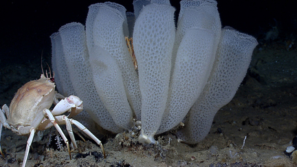 Glass sponge. Photo © NOAA