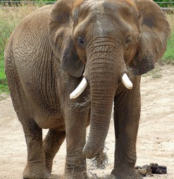 Elephant. Photo © Jim Bowen, via flickr and Creative Commons
