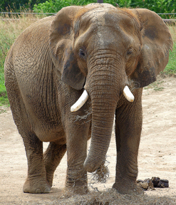 Elephant. Photo © Jim Bowen, via flickr and Creative Commons