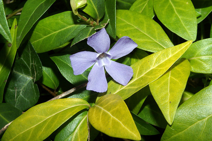 Vinca minor, or common periwinkle. Photo © Daniel Jolivet, via flickr and Creative Commons